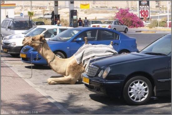 cammello nel parcheggio